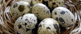 Перепелиные яйца — очень полезный продукт