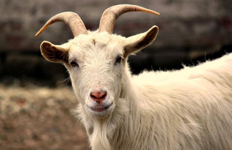Разведение коз набирает популярность ввиду ряда причин