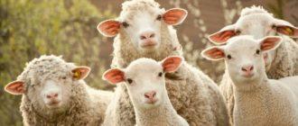 Разведение овец — довольно прибыльный бизнес