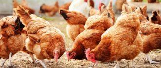 Разведение кур — очень прибыльный бизнес