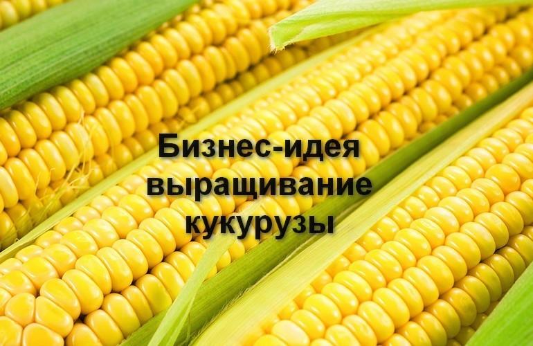 Важным условием при выборе места посадки кукурузы являются климатические условия