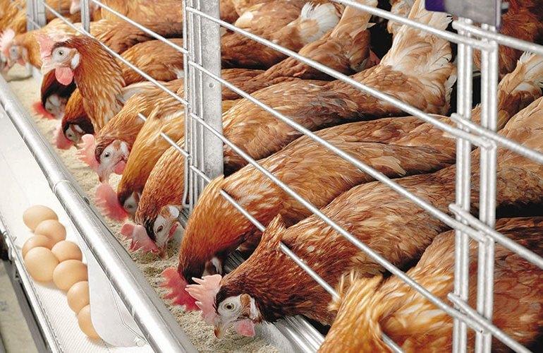 Бизнес по выращиванию птицы сегодня самый рентабельный в сельском хозяйстве